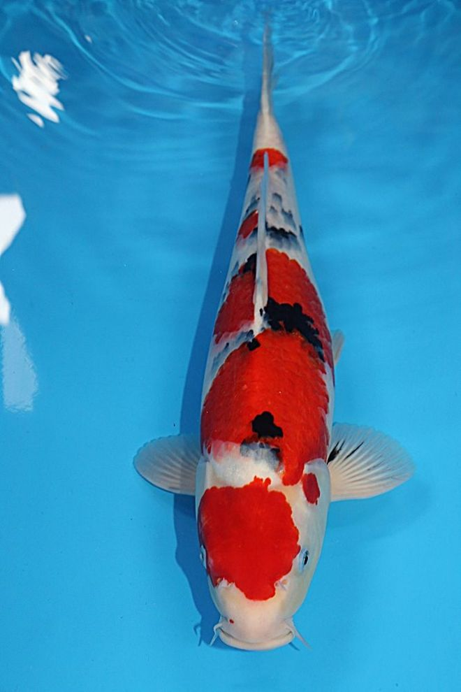 "Sanke-Koi For Sale 18"" 7559"